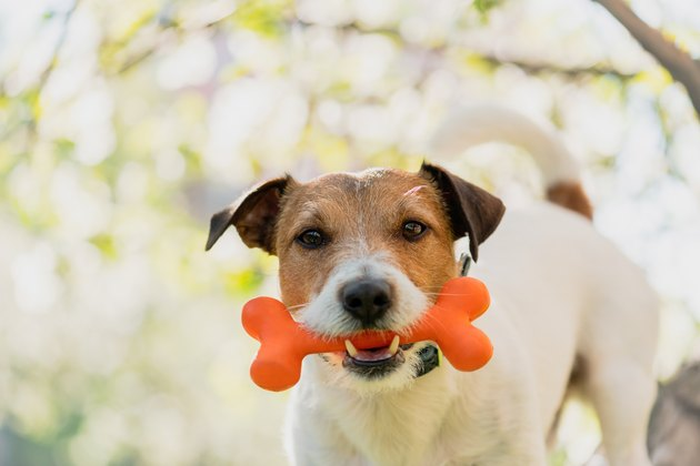 Dog holding toy bone in mouth under branch of blossoming apple tree