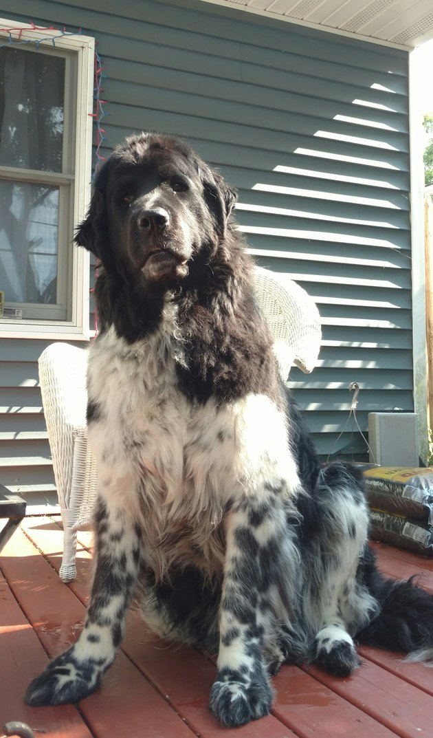 Portrait Of Newfoundland Dog Sitting Outside House