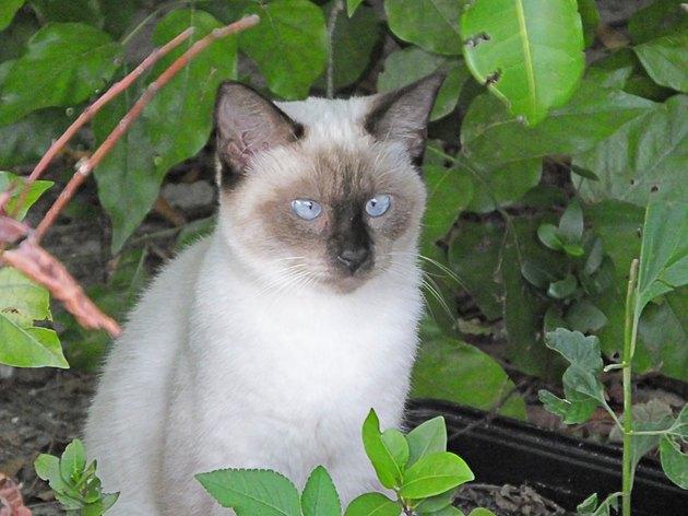 Siamese Cat (Felis catus)