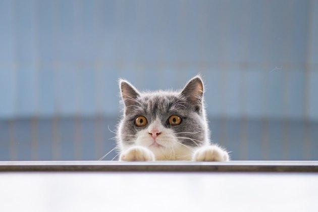 British short-haired cat lying on the windowsill