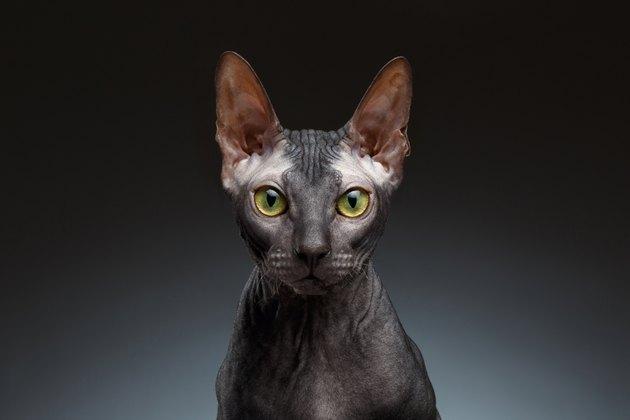 Closeup Portrait of Grumpy Sphynx Cat Front view on Black