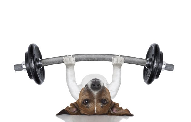Jack Russell lying on back with raised paws with barbell