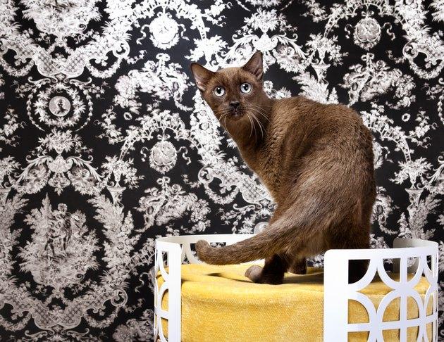 Havana Brown cat on pet bed at home