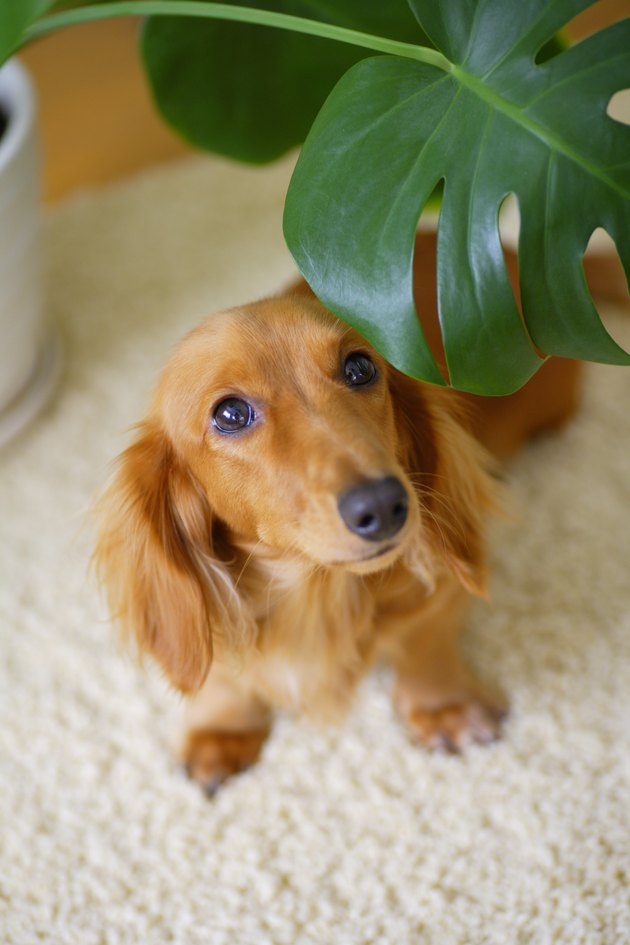 Miniature Dachshund looking out from behind houseplant