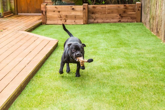 Dog running on artifical grass by decking with a toy in his mouth