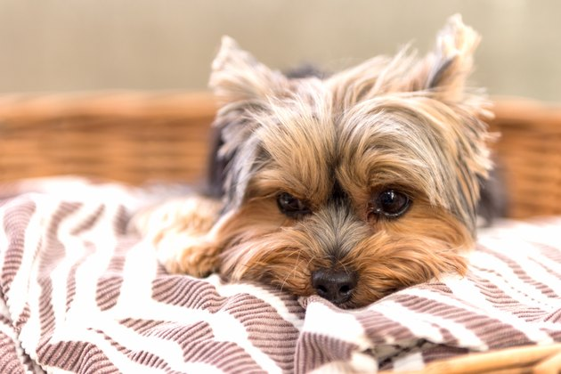 Yorkshire Terrier dog posing on grass
