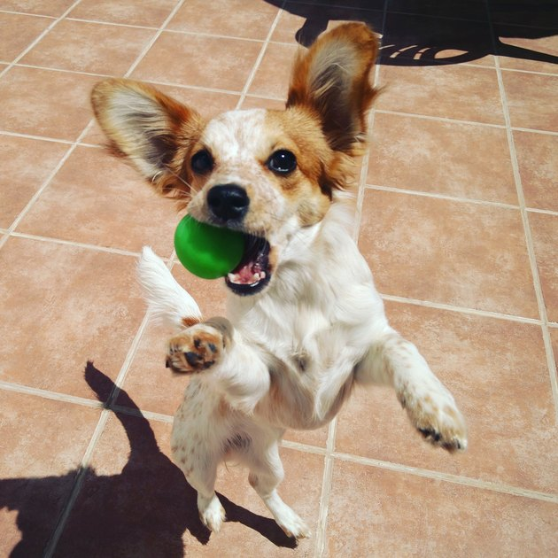 small dog jumping with ball in mouth