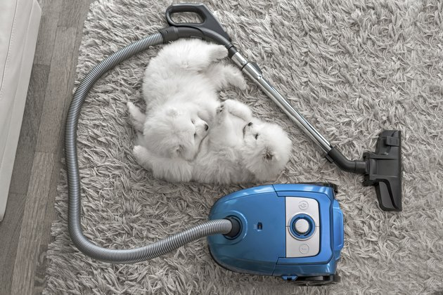Fluffy white dogs laying on shag carpet near vacuum