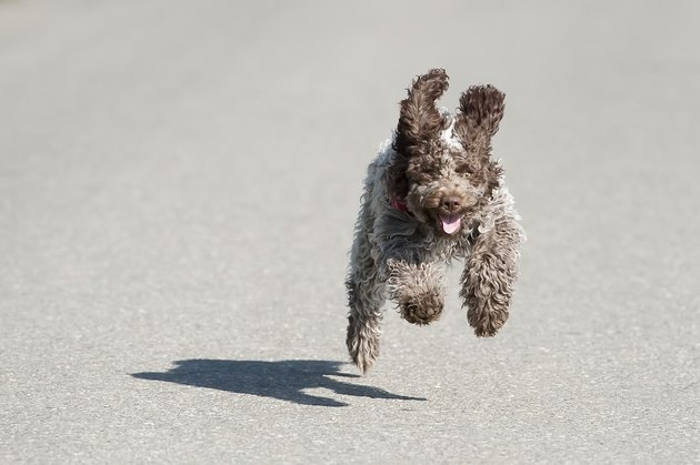 small brown dog running on road