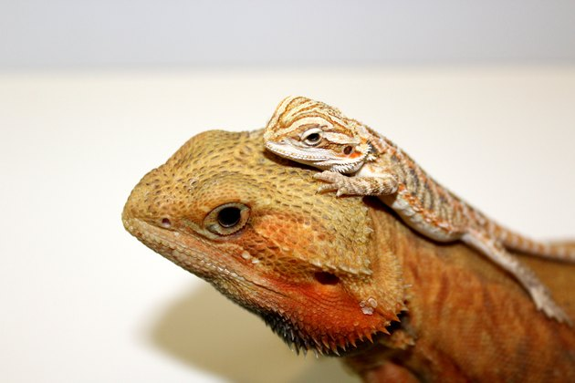 Adult Bearded Dragon with Baby