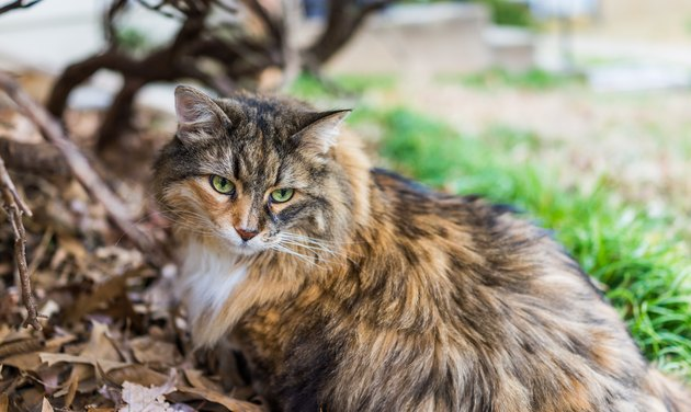 Closeup portrait of calico maine coon cat with green eyes sitting outside in fallen foliage and green grass