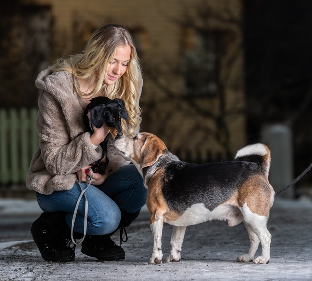 Blonde smiling young woman and her dachshund puppy meeting beagle