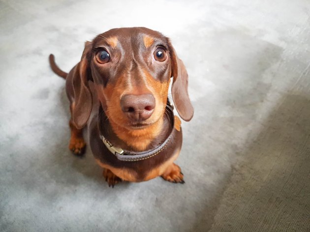 Dachshund with pretty eyes looking at the camera
