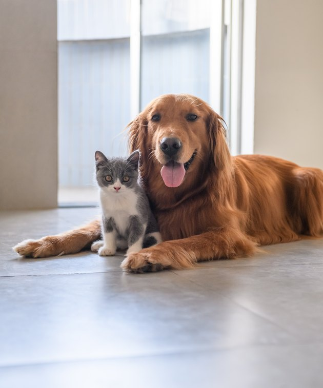 Golden Retriever and Kitten sitting together on floor