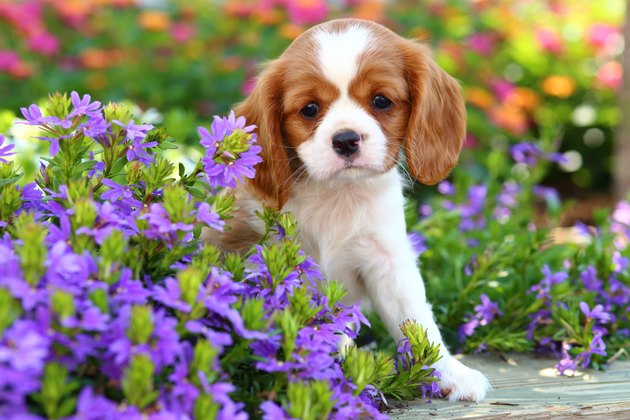 Spaniel puppy in flowers