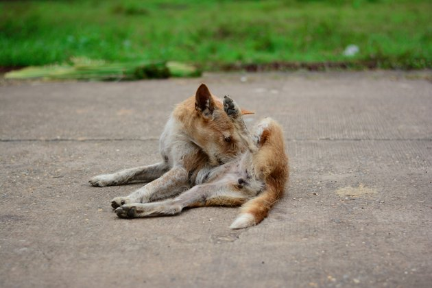 a local brown dog lying down on concrete road and cleaning itself
