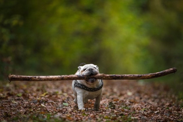 Dog Carrying Stick In Mouth While Walking On Land At Forest During Autumn