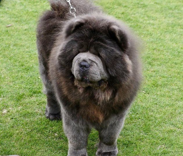 Chow Chow Dogs walking on grass
