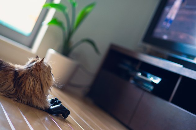 Cat in front of game controller looking at TV