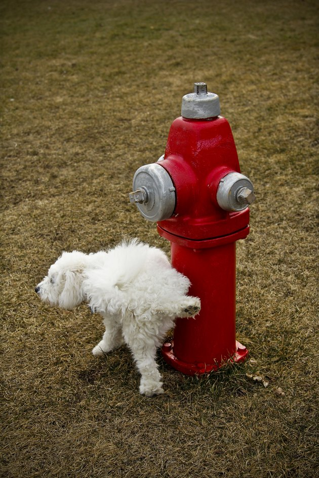 Dog peeing on red fire hydrant