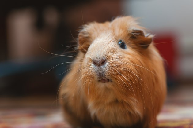 Portrait of red guinea pig, close up.