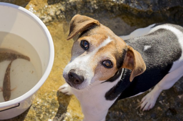 Fishing dog jack russell terrier
