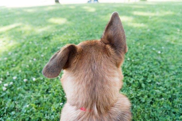 Rear View Of German Shepherd In Park