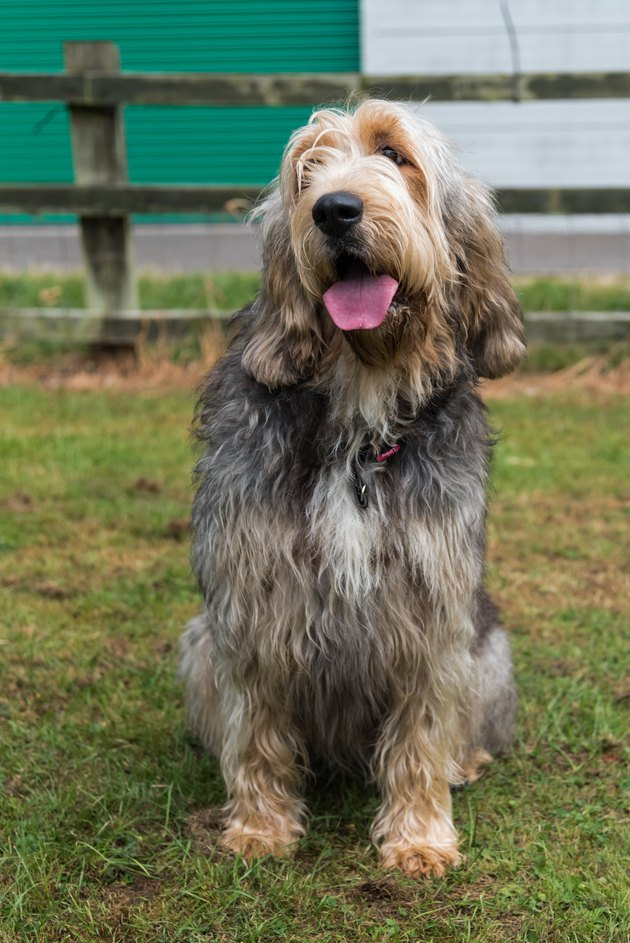 Otterhound sitting in field facing camera