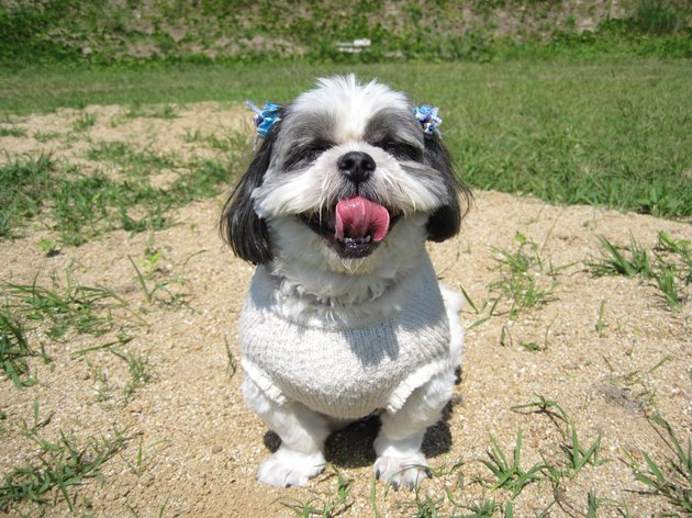 The shih tsu under walk