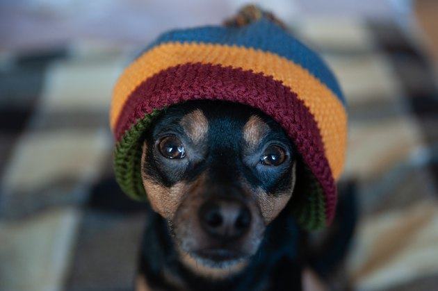 Cute puppy in a hat and blanket in the house. Clothing for dogs, care for animals in the cold season. Home comfort in winter and autumn