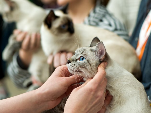 thai cats at cat show  in expert hands