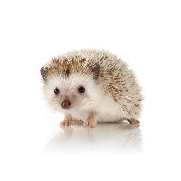 An adorable picture of an African Pygmy Hedgehog