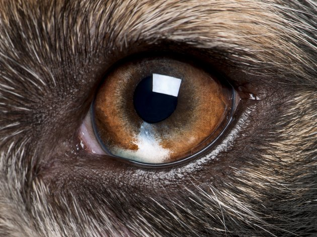 Close-up of Australian Shepherd's eye