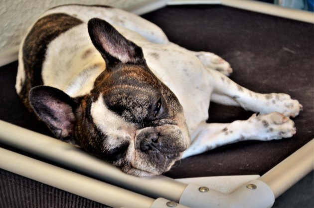 A French bulldog sleeping in his bed