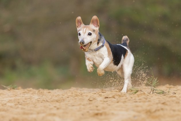 A Dwarf Jack Russell Terrier walking on 2 legs!