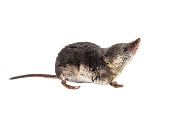 Isolated Common shrew (Sorex araneus) with clipping path
