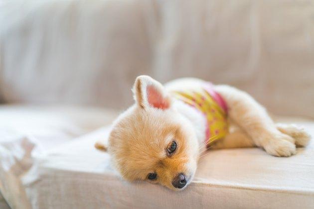 Tired and sleepy pomeranian dog sleeping on sofa