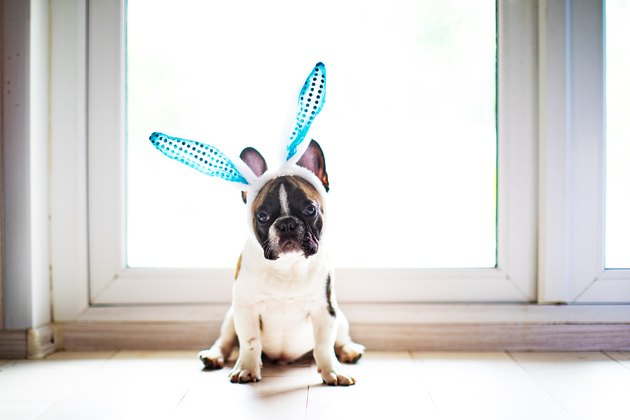 Bulldog with rabbit ears