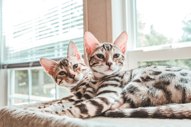 Bengal Kittens Looking At Camera
