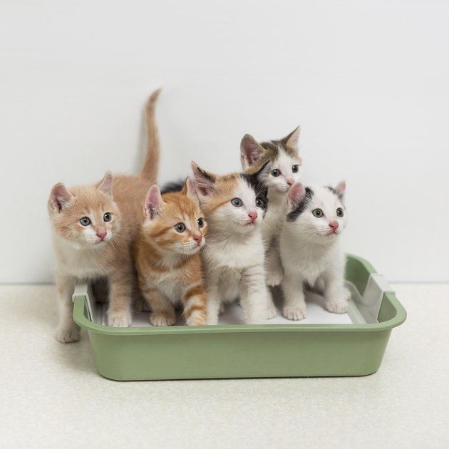 five kittens sitting in litter box