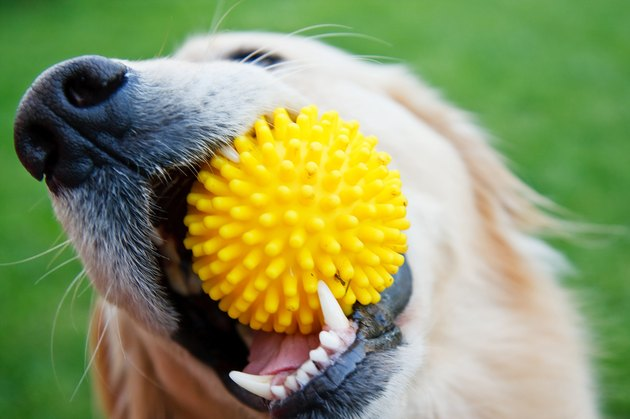 Playful dog with yellow toy in mouth