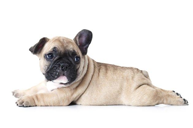 French bulldog puppy lying on white background