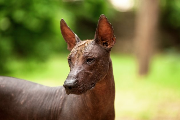 Xoloitzcuintli breed, mexican hairless dog on summer day