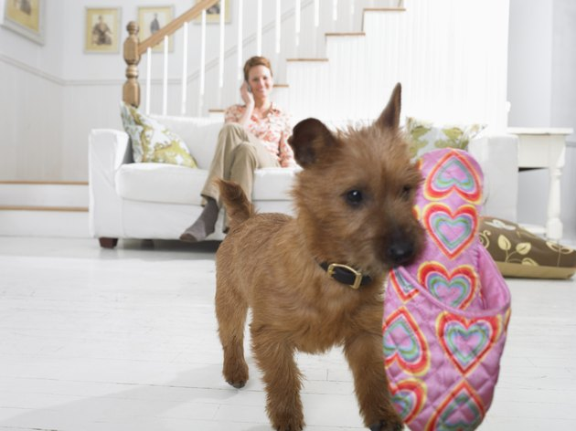 Terrier Puppy Carries a Slipper in its Mouth Across a Living Room Floor