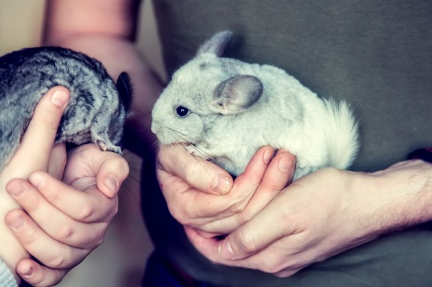 A small white and grey chinchilla sits on the human hands
