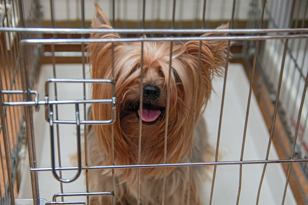 Yorkshire Terrier uncut doggie in crate
