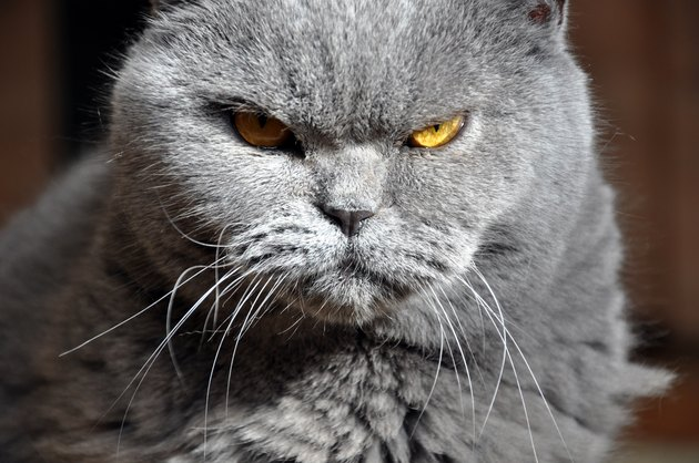 Portrait of British Short hair blue cat with yellow eyes.