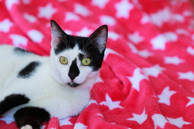 Cute black and white cat on a red blanket