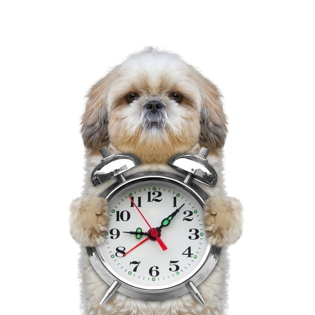 dog holding an alarm clock in his paws