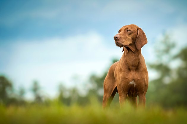 Vizsla standing in grass